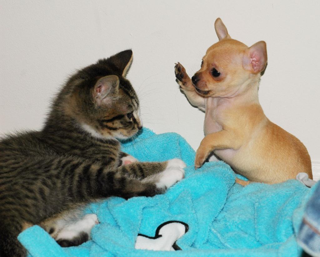 Cats Versus Dogs: A Value Debate
